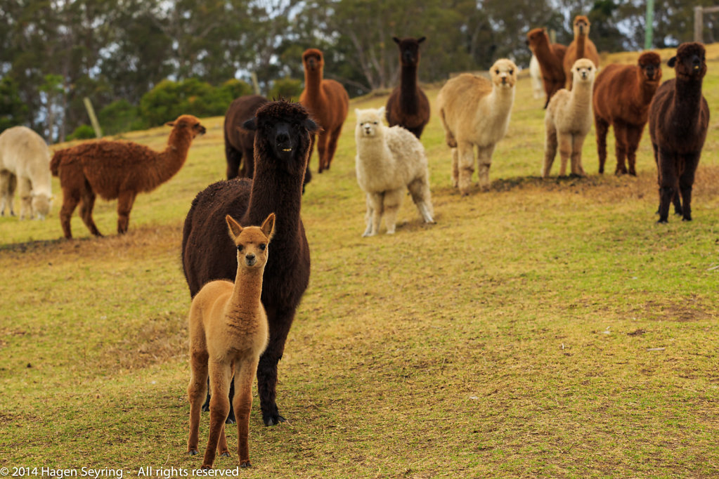 Alpacas in the Mountview Alpaca farm