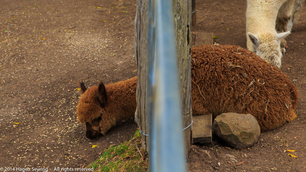 Hungry alpaca